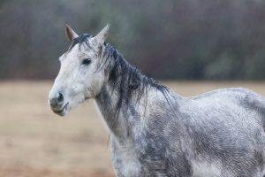 grey dapple horse